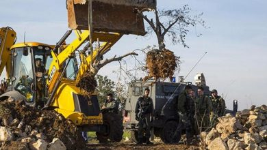 Photo of Settlers uproot olive trees